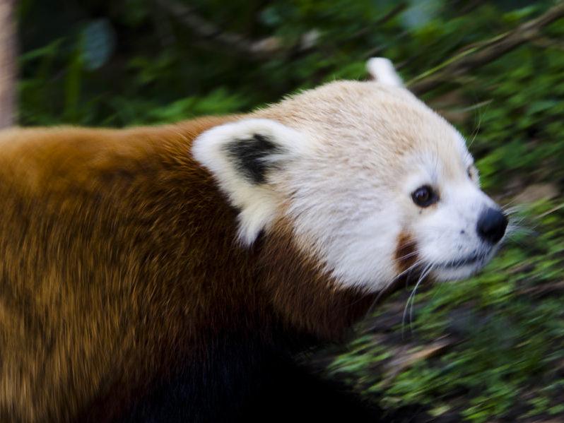 roter panda ishah wellington zoo