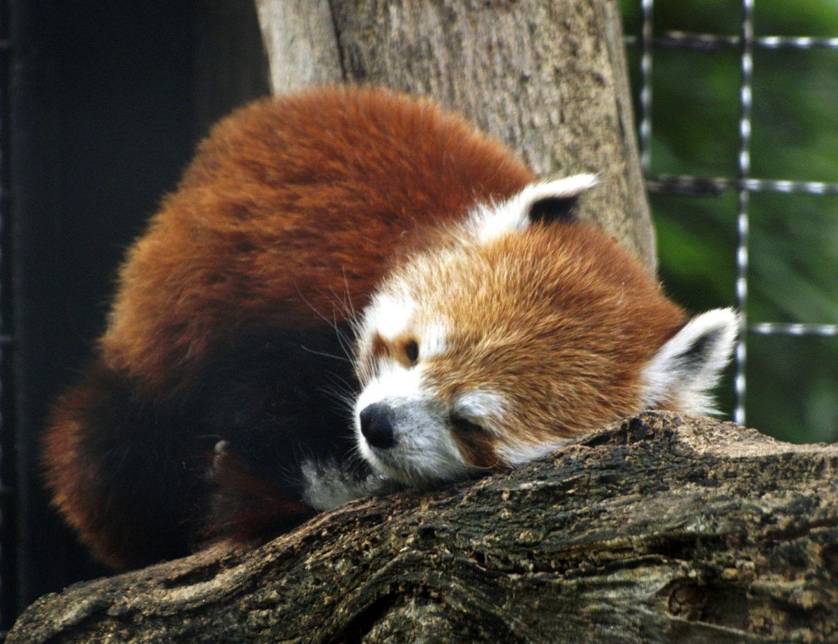 red panda cleveland metroparks zoo photo david ellis