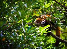 roter panda bhutan