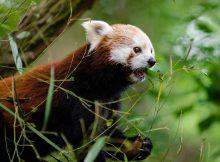 red pandas eastern nepal