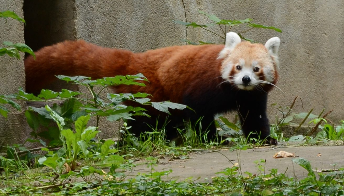 roter panda zoo leipzig marcus liefeld flickr