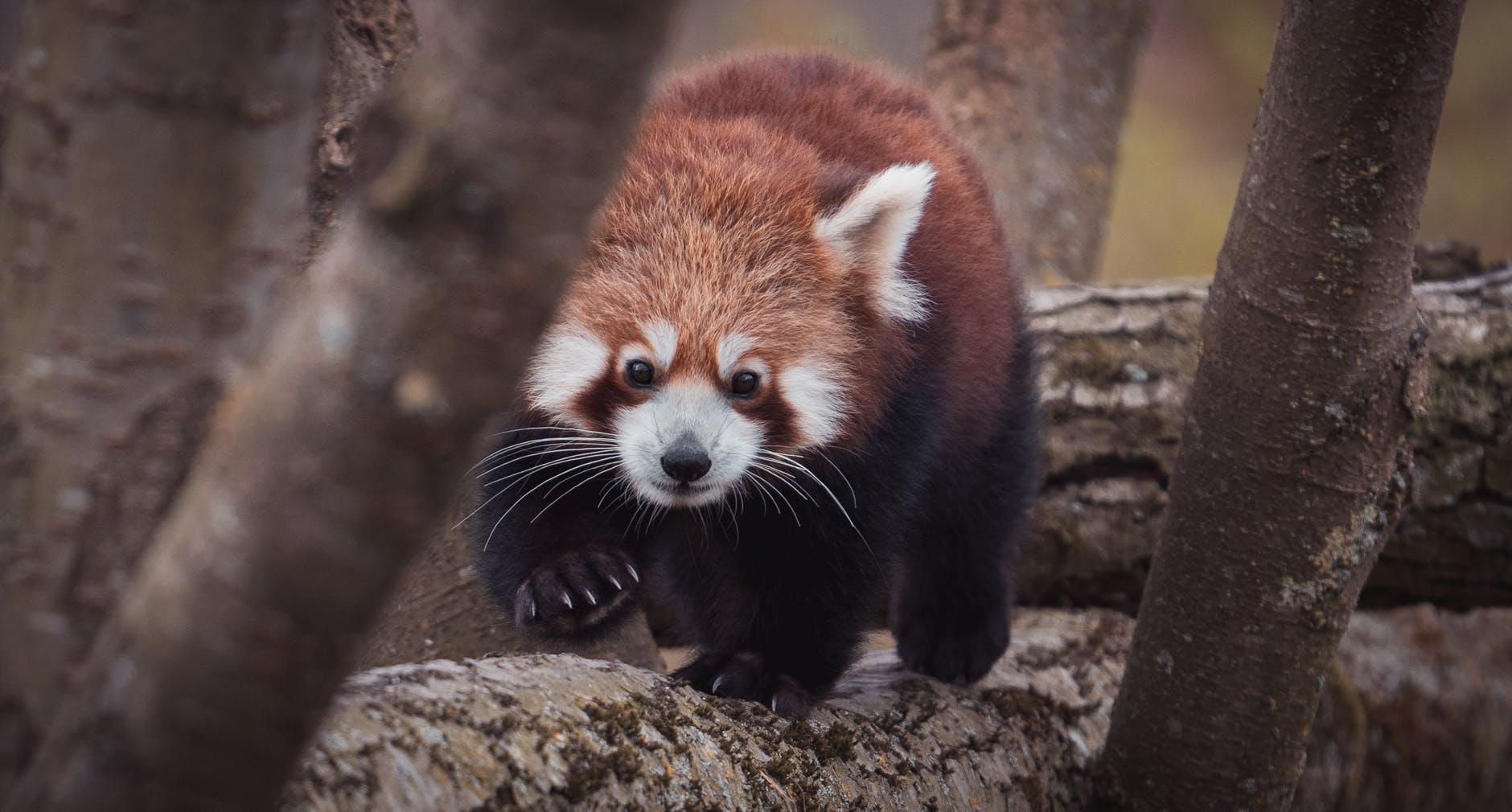 red panda walking on tree trunk in zoo