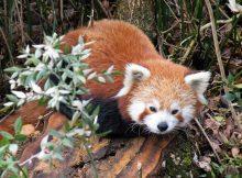 red panda natur'zoo de mervent