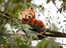 rote pandas red pandas odense zoo
