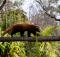 red panda symbio zoo