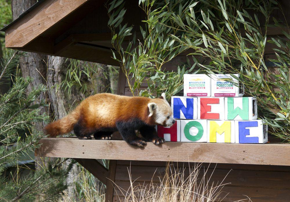 red pandas ginger bruce RZSS Edinburgh Zoo