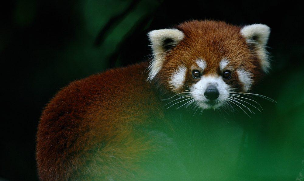 red panda wwf
