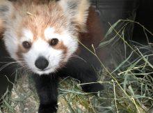 red panda vixen zoo belfast