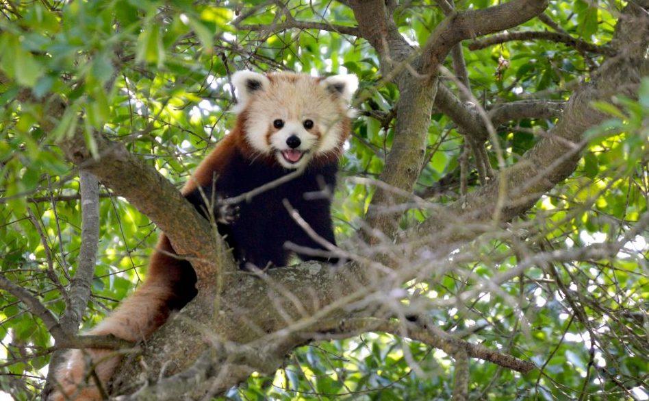 roter panda masu virginia zoo