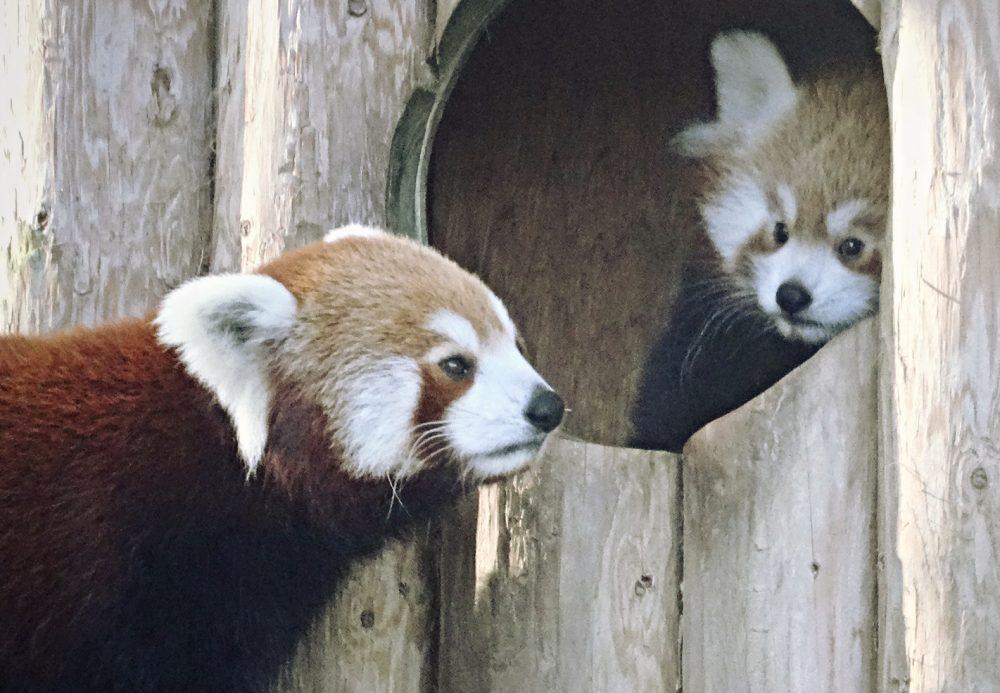drusillas park rote pandas mulan