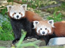 red pandas drayton manor zoo keith lloyd