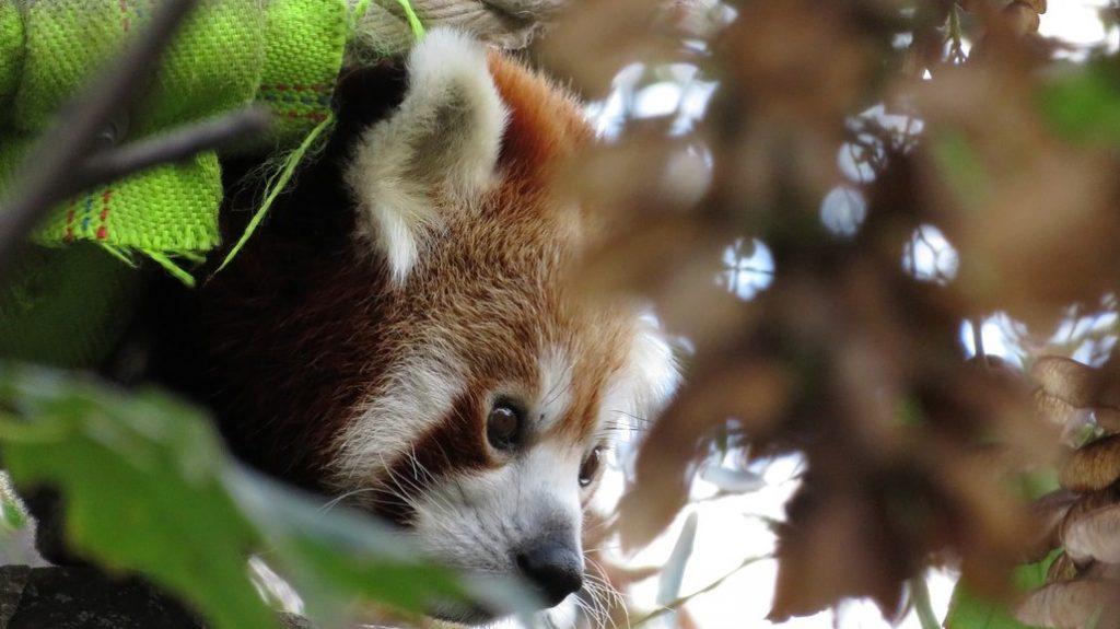 red panda pixabay katharinakanns