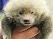 roter panda binghamton