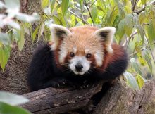 red panda cubs darjeeling