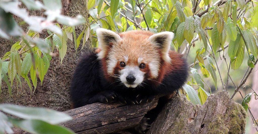red panda cubs darjeeling