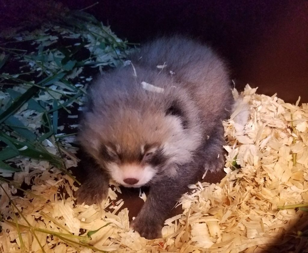 rote pandas baby zoo