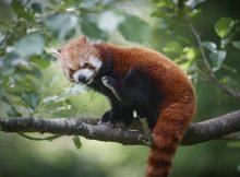 red panda odense zoo roter panda