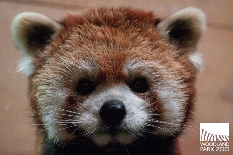 red panda stellar woodland park zoo