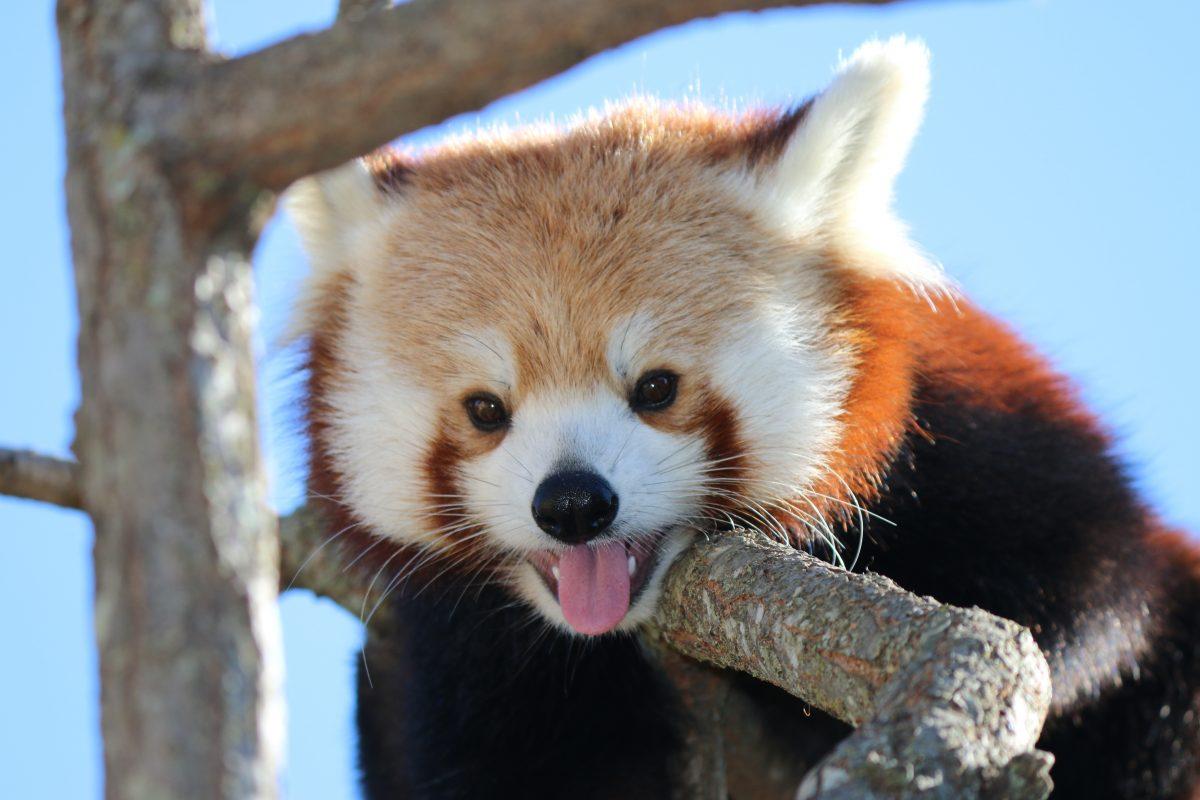 red panda wyatt