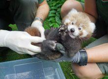 roter panda red panda zoo dresden