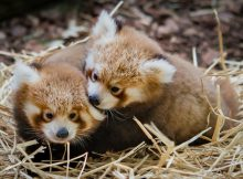 red panda cubs cleveland metroparks zoo
