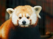 red panda rochan beardsley zoo