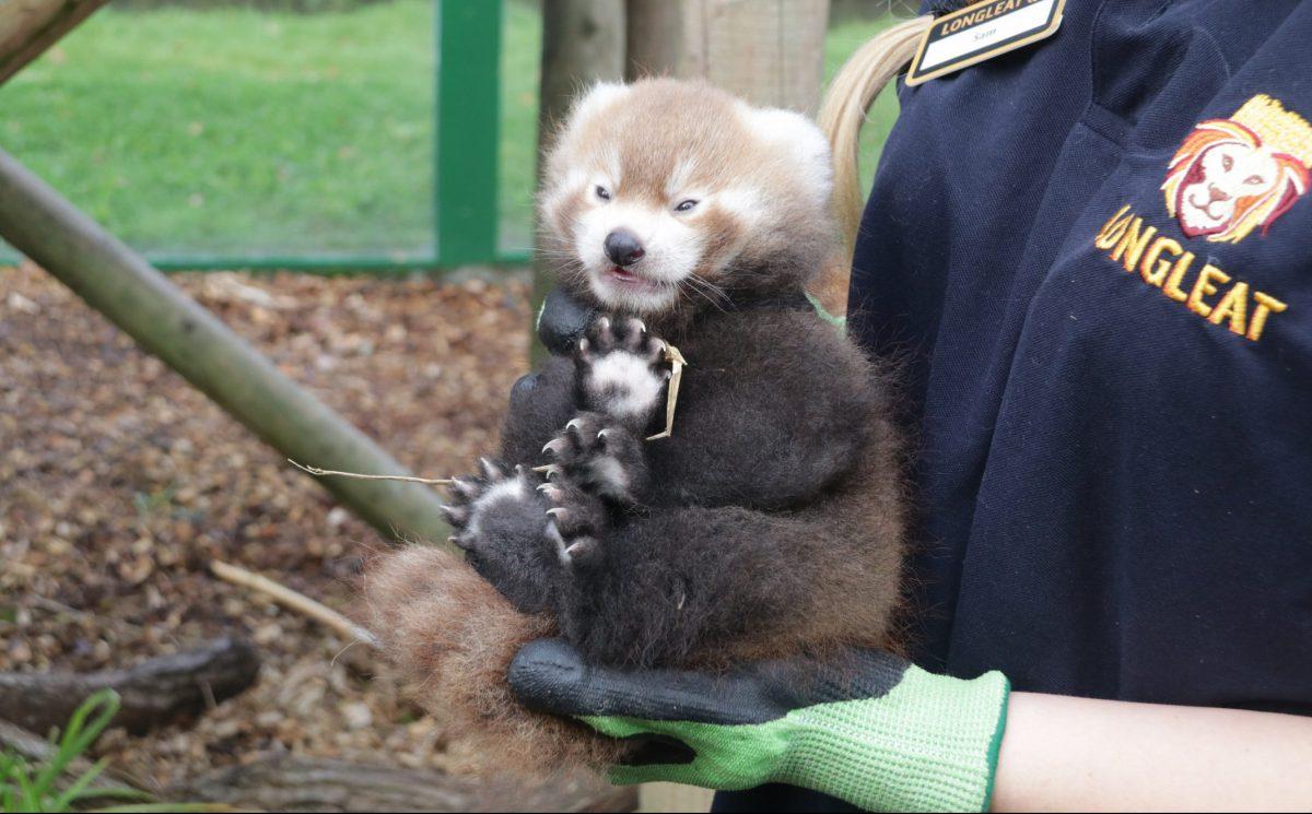 red panda cub longleat