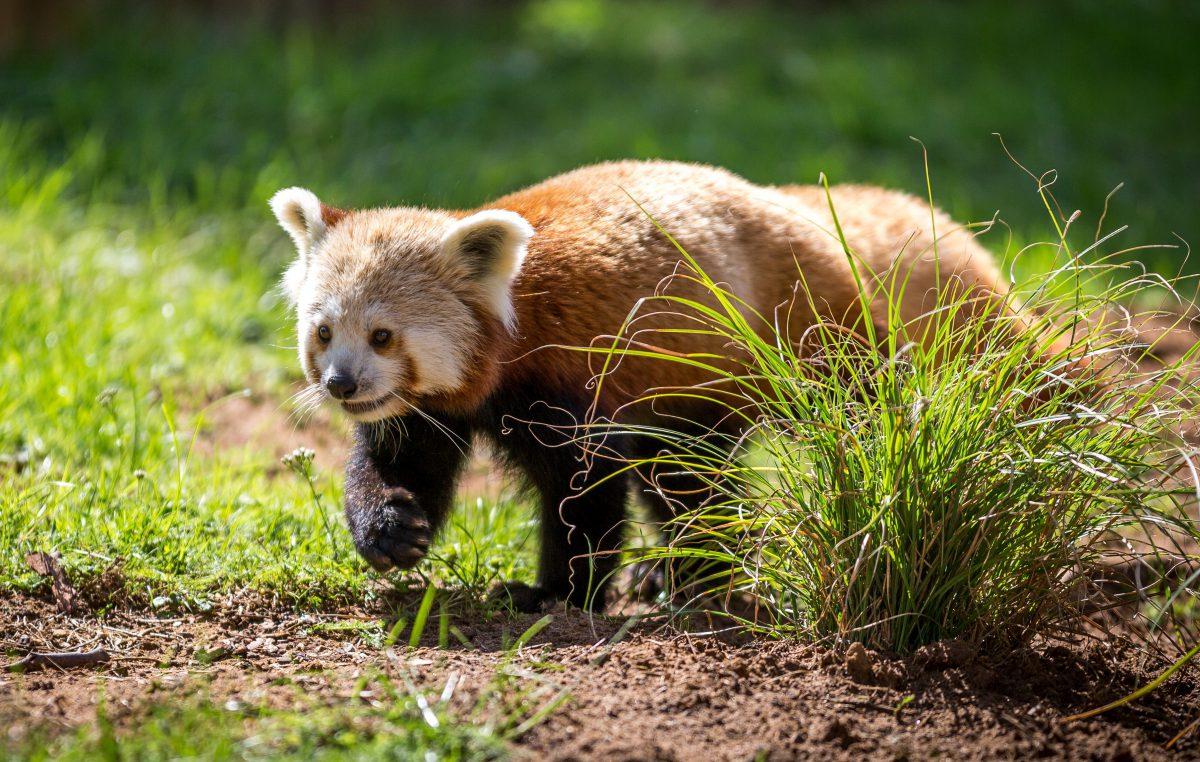 red panda mali woburn safari park