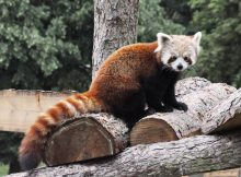red panda mambo woburn safari park