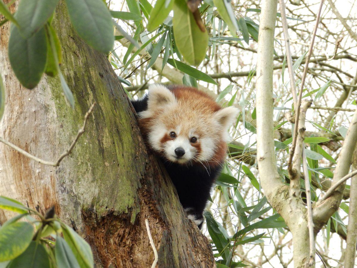 kleiner panda roter panda zoo dortmund