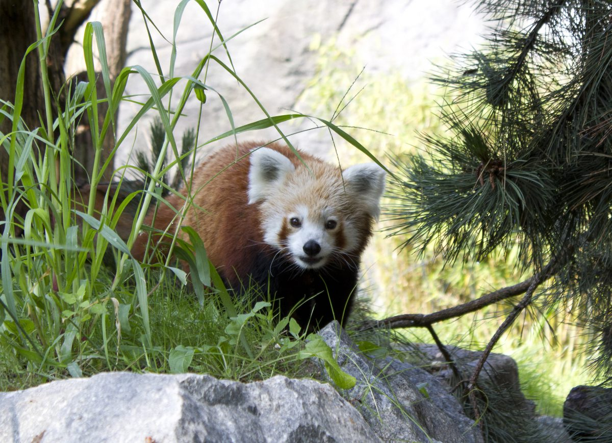 roter panda zoo leipzig