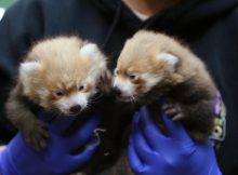 red panda cubs denver zoo