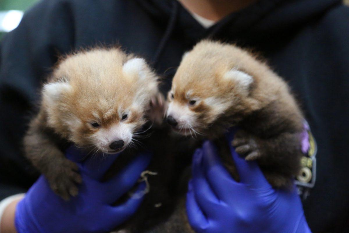 red panda cubs denver zoo