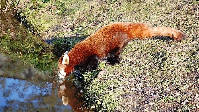 red panda drinking
