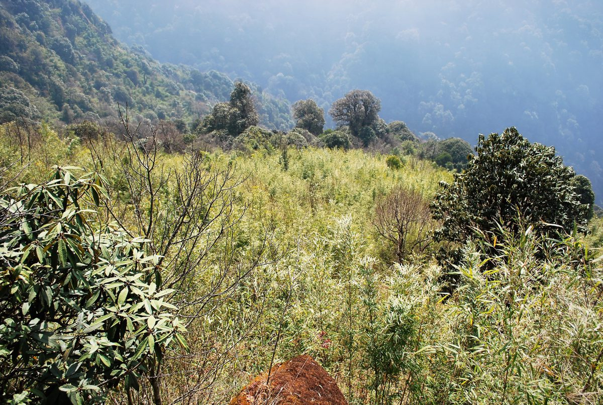 red panda habitat bamboo nepal chal