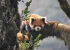 red panda wilderness chal nepal