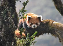 red panda wilderness chal nepal