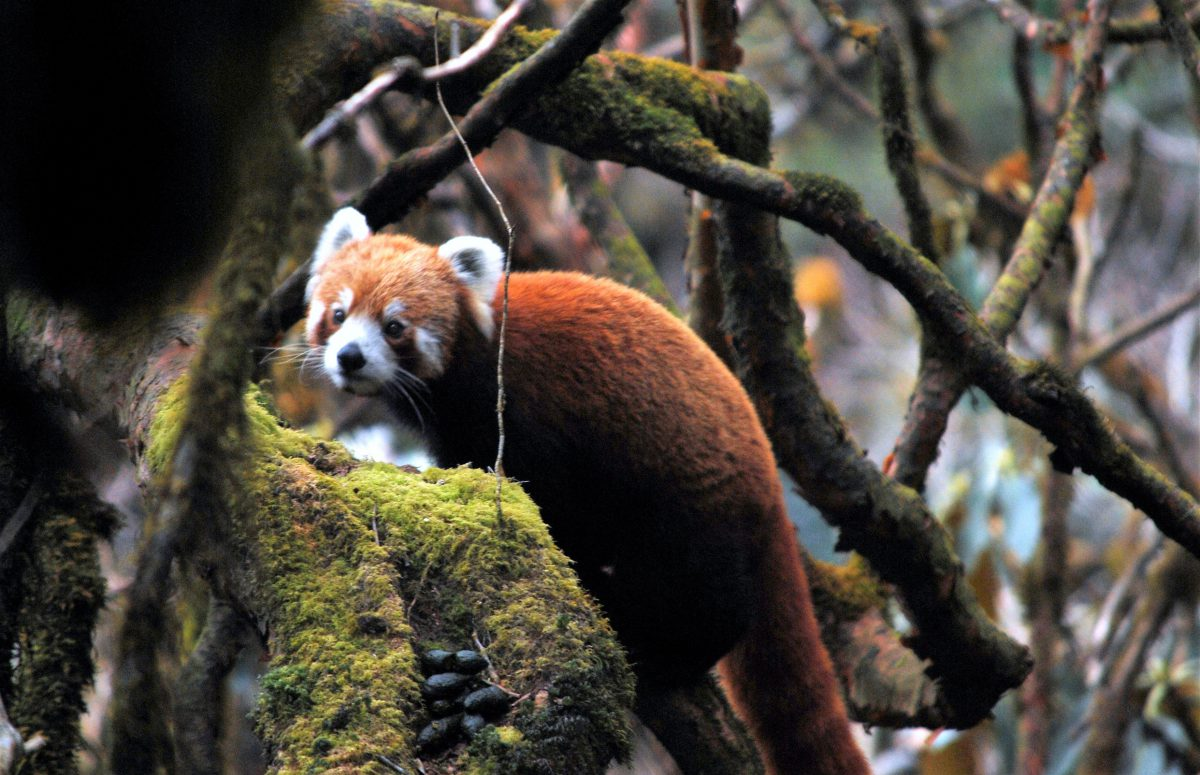 red panda wilderness nepal