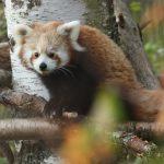 red panda rzss highland wildlife park