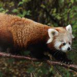 panda rzss highland wildlife park