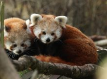 red pandas rzss highland wildlife park