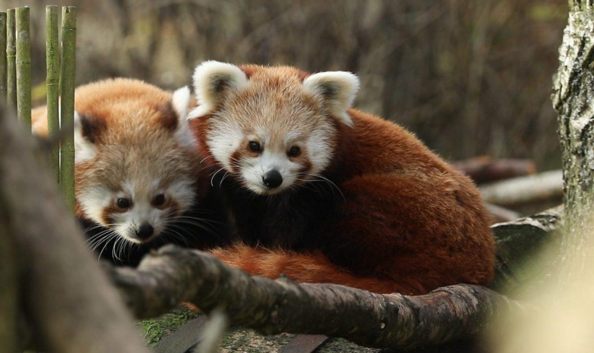 red pandas rzss highland wildlife park