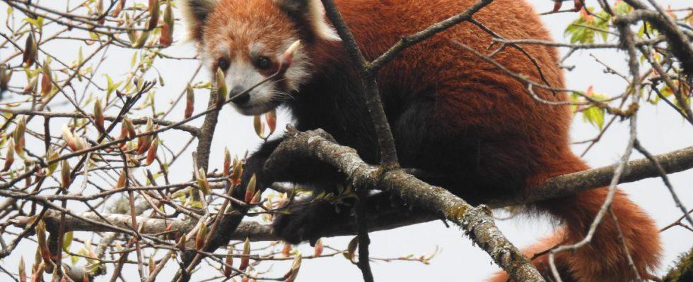 red panda wwf india sony rajesh nanavaty