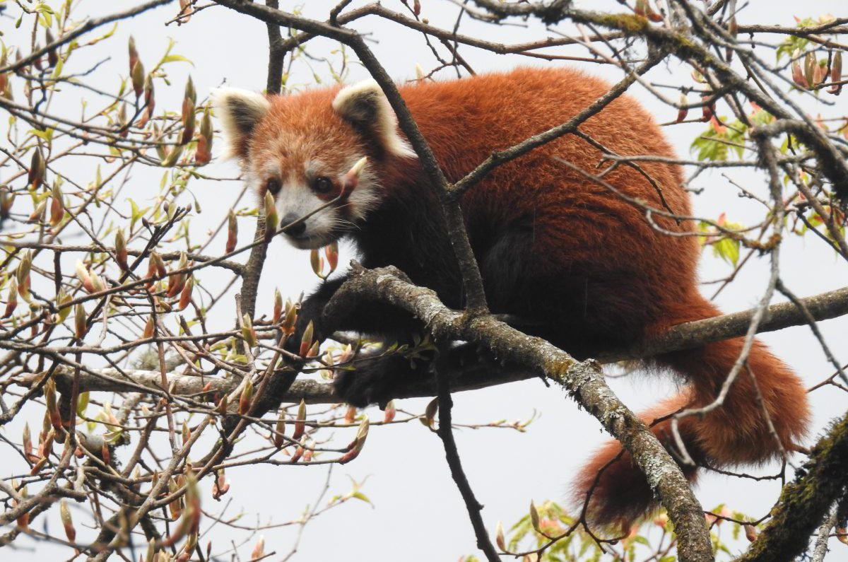 red panda wwf india sony rajesh nanavaty
