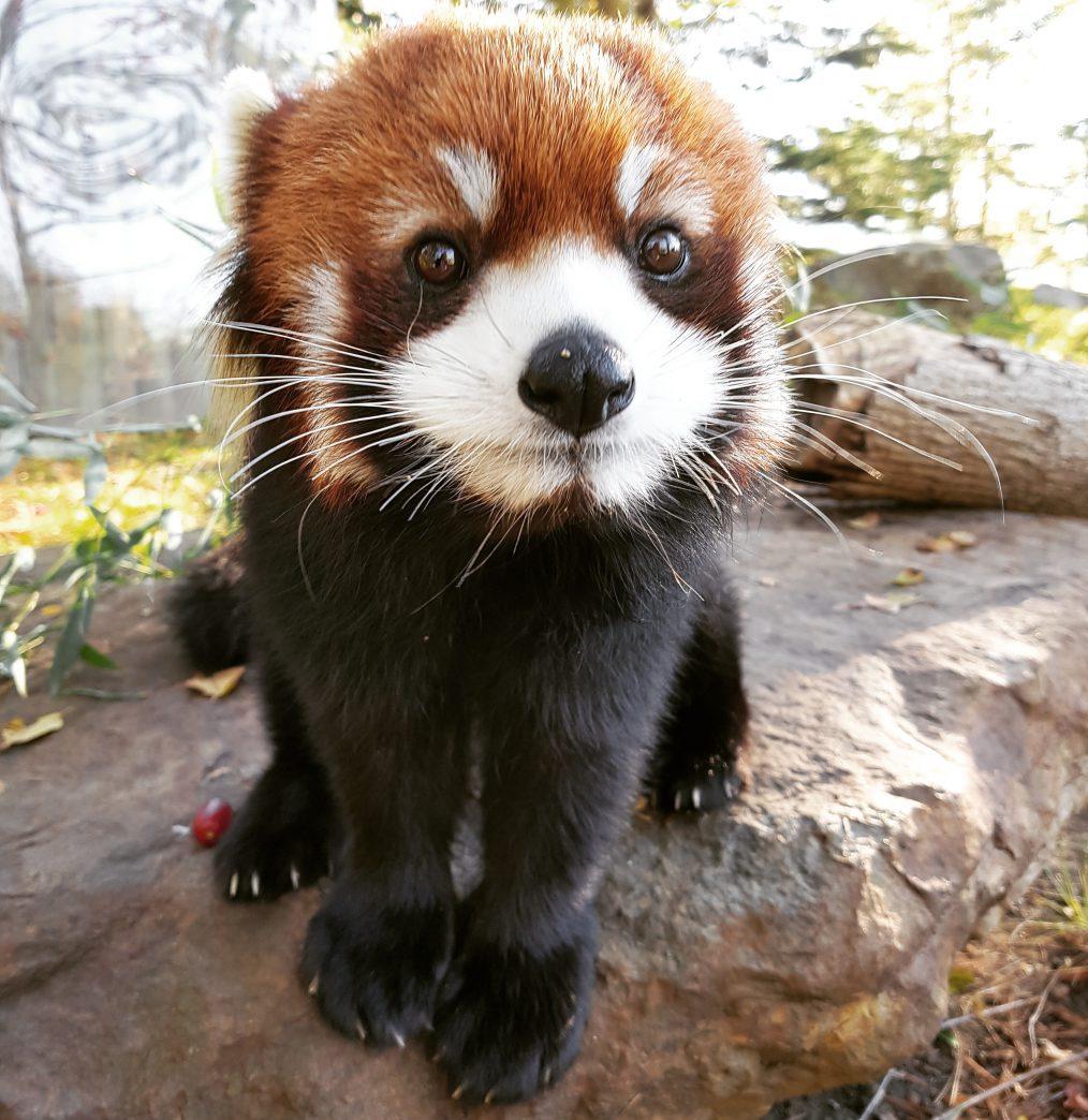 red panda malina toronto zoo
