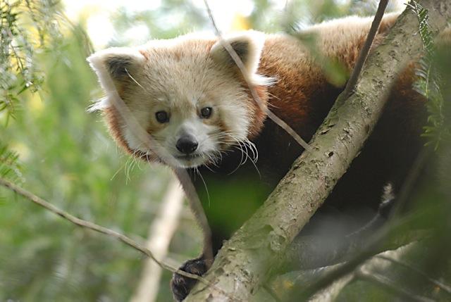 roter panda metok zoo görlitz