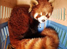 red pandas rote pandas laos rescue rettung