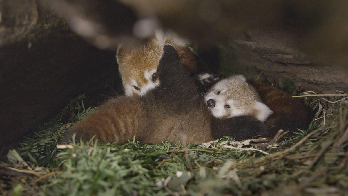 rote panda doku das erste