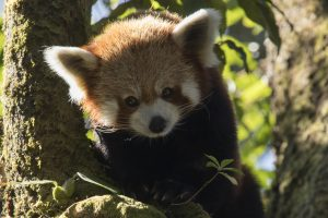kleiner panda roter panda doku axel gebauer nepal himalaya das erste