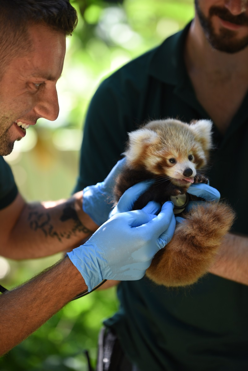 red panda cub perth zoo photo alex asbury